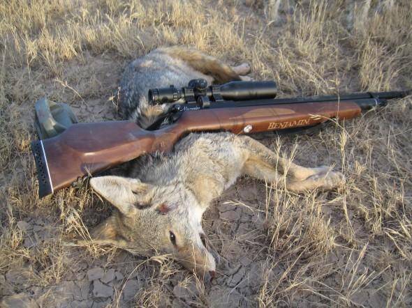 crosman 010 590x442 Охота с пневматическим оружием